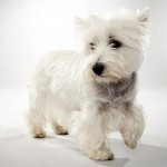 "West Highland White Terrier, ""Westie"" para los amigos"