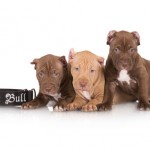 Cachorros de American Pit Bull Terrier